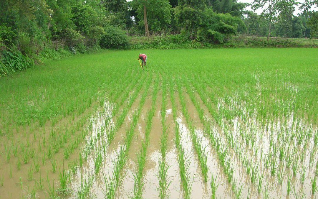 Système de riziculture intensive (SRI)
